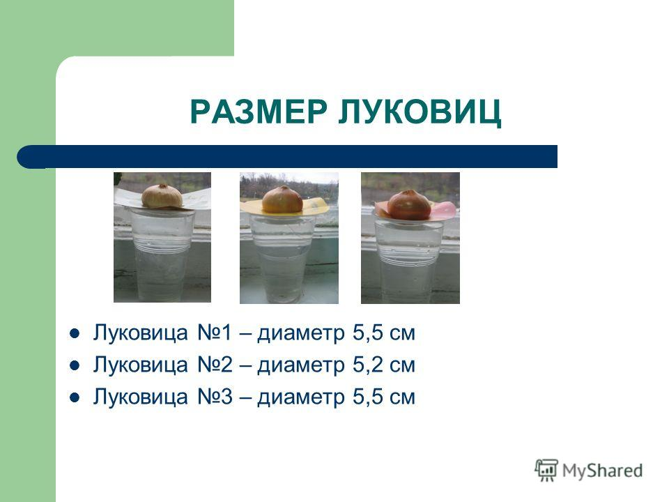 РАЗМЕР ЛУКОВИЦ Луковица 1 – диаметр 5,5 см Луковица 2 – диаметр 5,2 см Луковица 3 – диаметр 5,5 см
