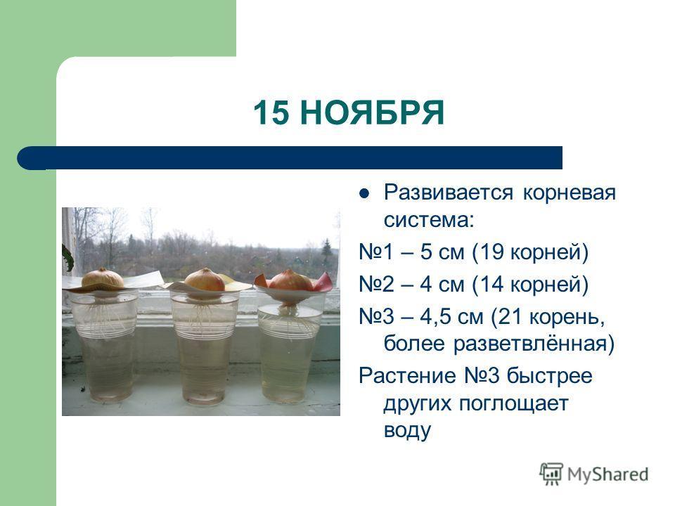 15 НОЯБРЯ Развивается корневая система: 1 – 5 см (19 корней) 2 – 4 см (14 корней) 3 – 4,5 см (21 корень, более разветвлённая) Растение 3 быстрее других поглощает воду