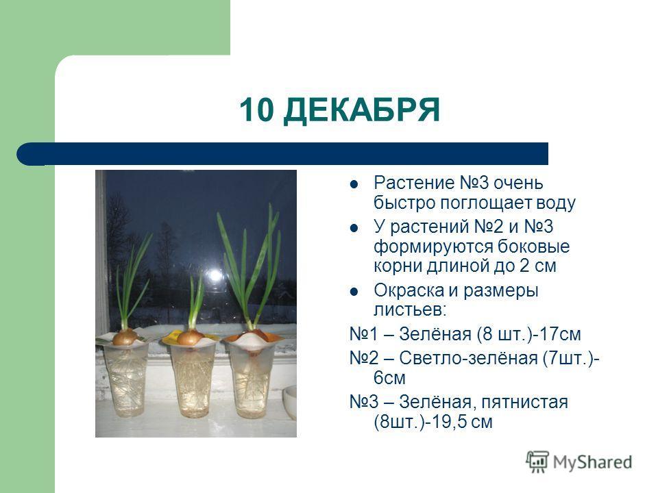 10 ДЕКАБРЯ Растение 3 очень быстро поглощает воду У растений 2 и 3 формируются боковые корни длиной до 2 см Окраска и размеры листьев: 1 – Зелёная (8 шт.)-17см 2 – Светло-зелёная (7шт.)- 6см 3 – Зелёная, пятнистая (8шт.)-19,5 см