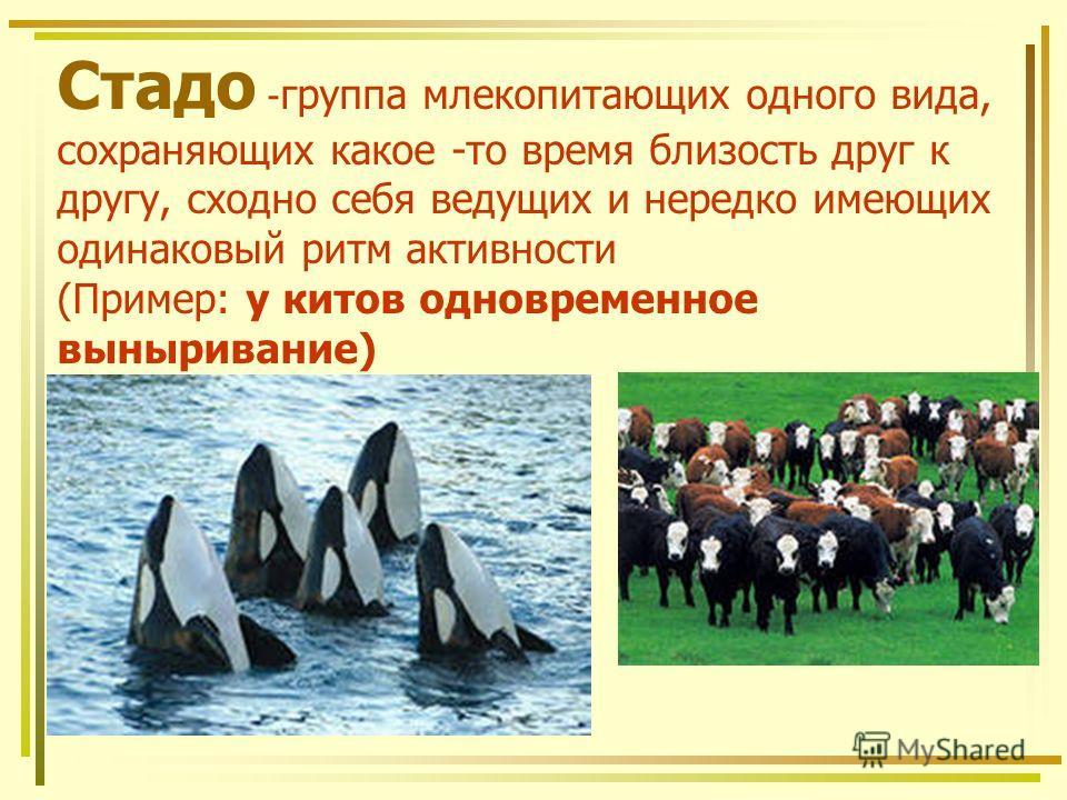 Стадо - группа млекопитающих одного вида, сохраняющих какое -то время близость друг к другу, сходно себя ведущих и нередко имеющих одинаковый ритм активности (Пример: у китов одновременное выныривание)