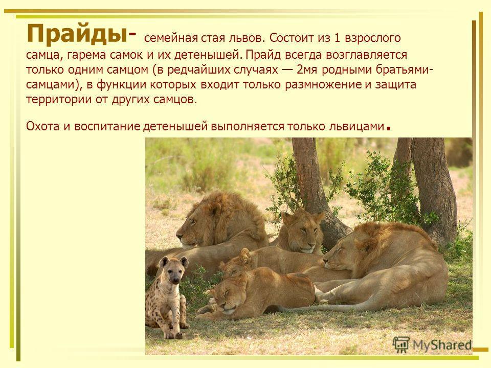 Прайды- семейная стая львов. Состоит из 1 взрослого самца, гарема самок и их детенышей. Прайд всегда возглавляется только одним самцом (в редчайших случаях 2мя родными братьями- самцами), в функции которых входит только размножение и защита территори