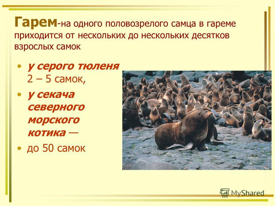 Гарем -на одного половозрелого самца в гареме приходится от нескольких до нескольких десятков взрослых самок у серого тюленя 2 – 5 самок, у секача северного морского котика до 50 самок