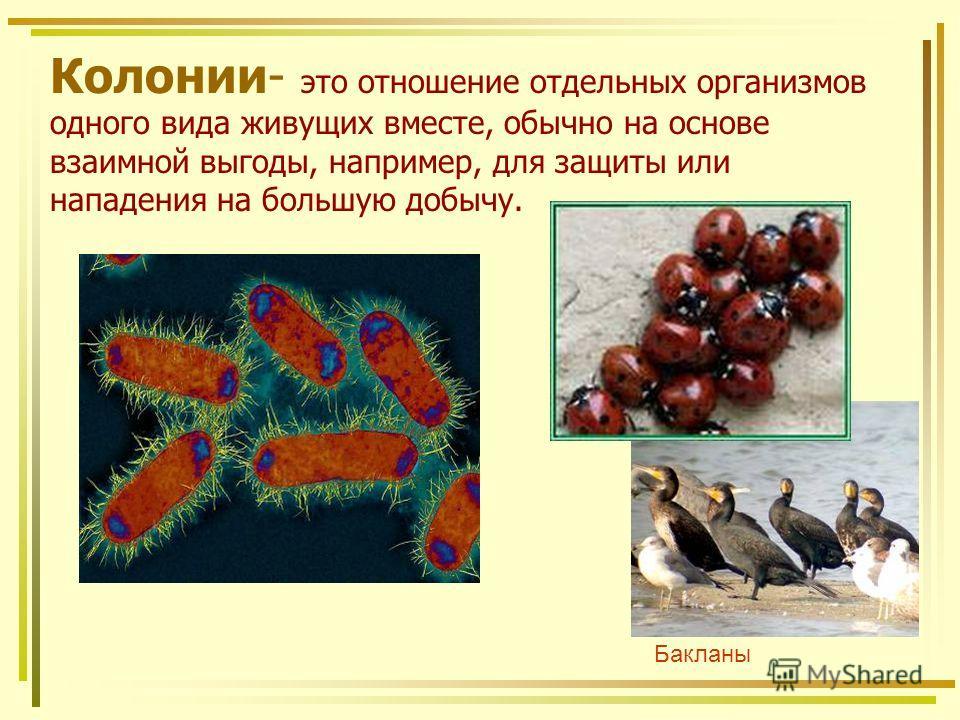 Колонии- это отношение отдельных организмов одного вида живущих вместе, обычно на основе взаимной выгоды, например, для защиты или нападения на большую добычу. Бакланы