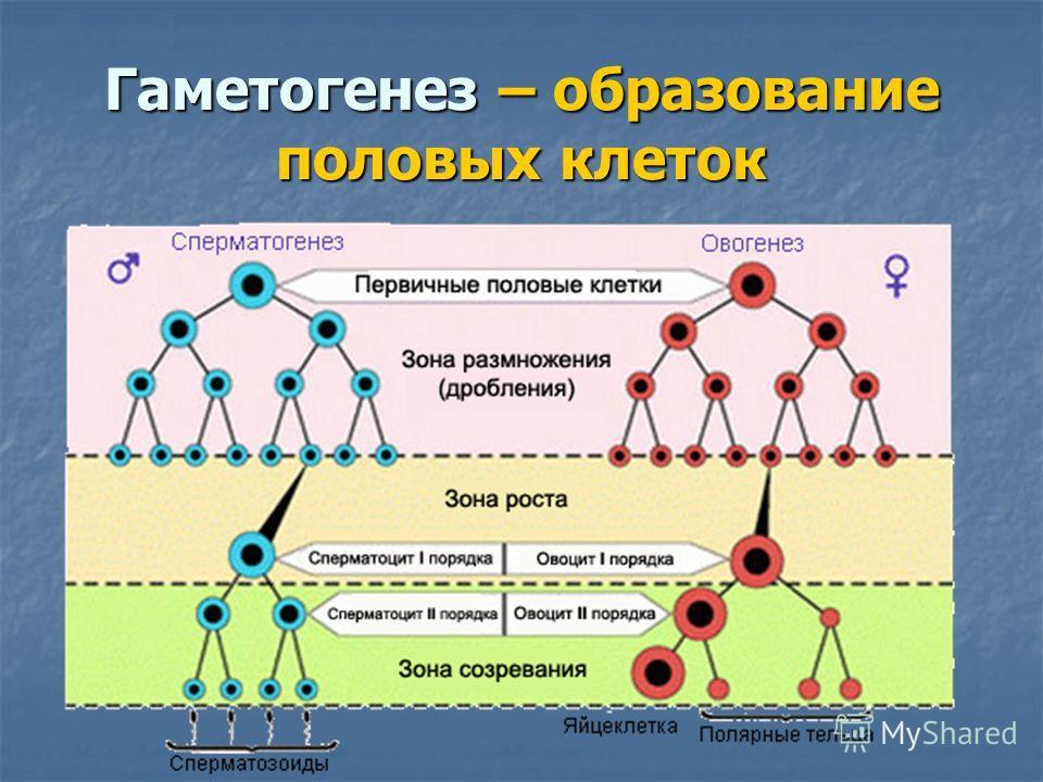 Гаметогенез – образование половых клеток