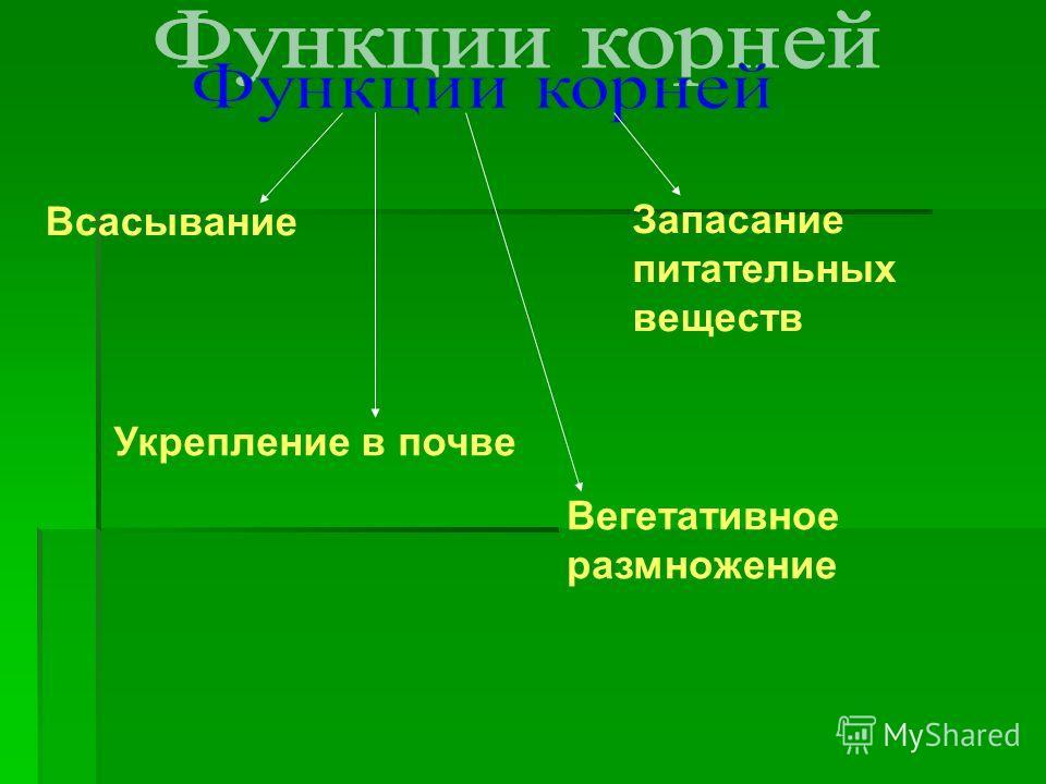Всасывание Укрепление в почве Вегетативное размножение Запасание питательных веществ