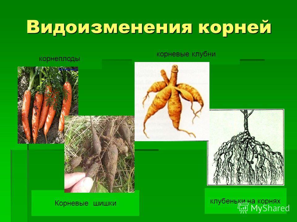 Видоизменения корней корнеплоды корневые клубни Корневые шишки клубеньки на корнях
