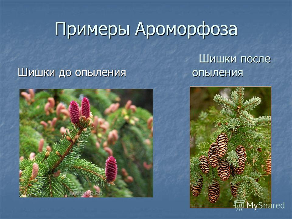 Примеры Ароморфоза Шишки до опыления Шишки после опыления Шишки после опыления