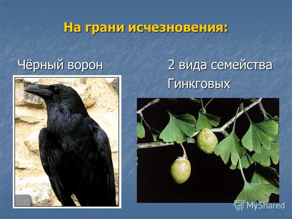 На грани исчезновения: Чёрный ворон 2 вида семейства Гинкговых Гинкговых