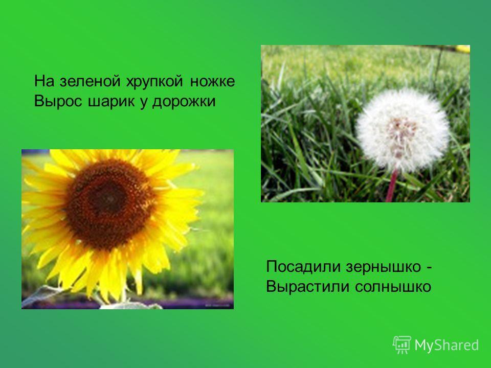 На зеленой хрупкой ножке Вырос шарик у дорожки Посадили зернышко - Вырастили солнышко