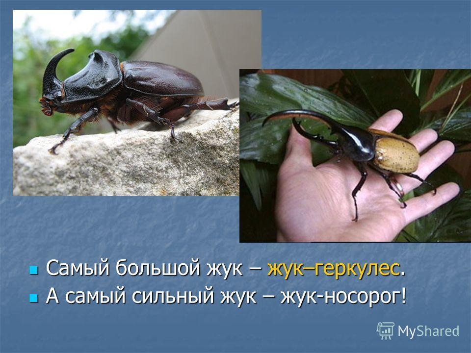 Самый большой жук – жук–геркулес. Самый большой жук – жук–геркулес. А самый сильный жук – жук-носорог! А самый сильный жук – жук-носорог!