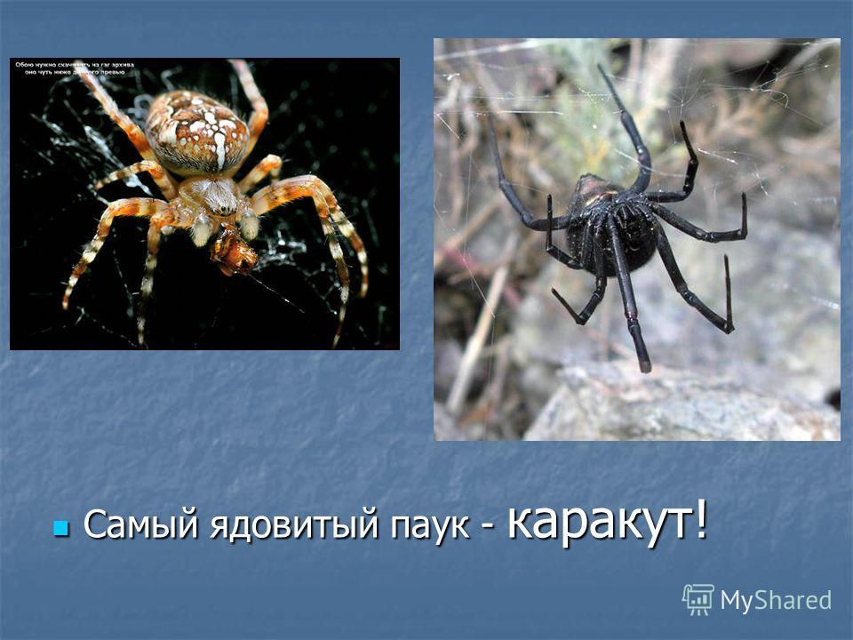Самый ядовитый паук - каракут! Самый ядовитый паук - каракут!