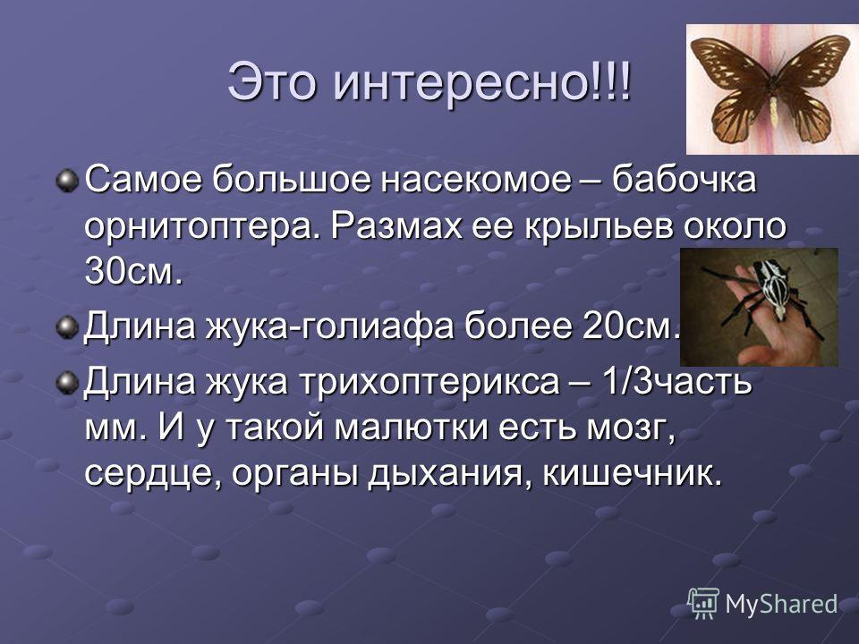 Это интересно!!! Самое большое насекомое – бабочка орнитоптера. Размах ее крыльев около 30см. Длина жука-голиафа более 20см. Длина жука трихоптерикса – 1/3часть мм. И у такой малютки есть мозг, сердце, органы дыхания, кишечник.
