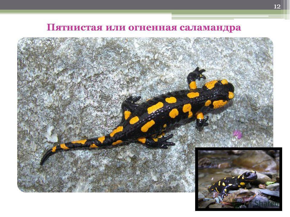 11 Озерная лягушка