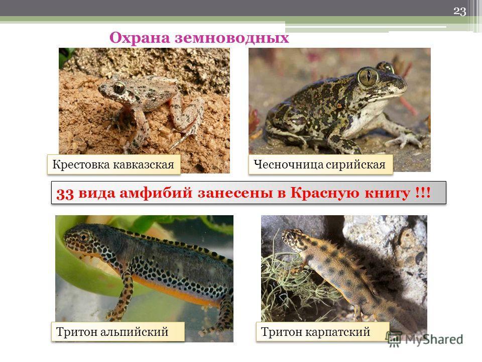 22 Голоса земноводных Жаба ага Зеленая жаба Камышовая жаба Жерлянка Травяная Лягушка-бык Чесночница