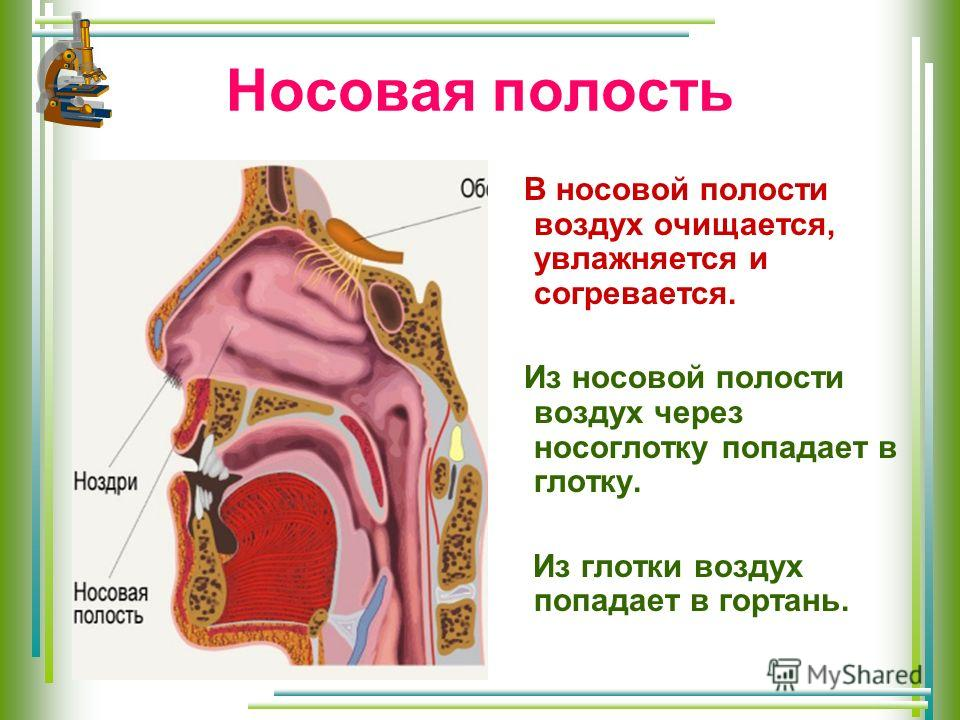 Носовая полость В носовой полости воздух очищается, увлажняется и согревается. Из носовой полости воздух через носоглотку попадает в глотку. Из глотки воздух попадает в гортань.