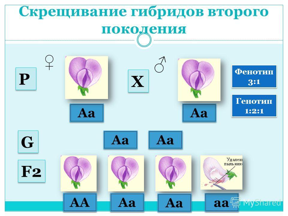 Скрещивание гибридов второго поколения Аа Аа G G Р Р Х Х F2F2 F2F2 АА АaАa АaАa АaАa АaАa аaаa аaаa Фенотип 3:1 Фенотип 3:1 Генотип 1:2:1 Генотип 1:2:1