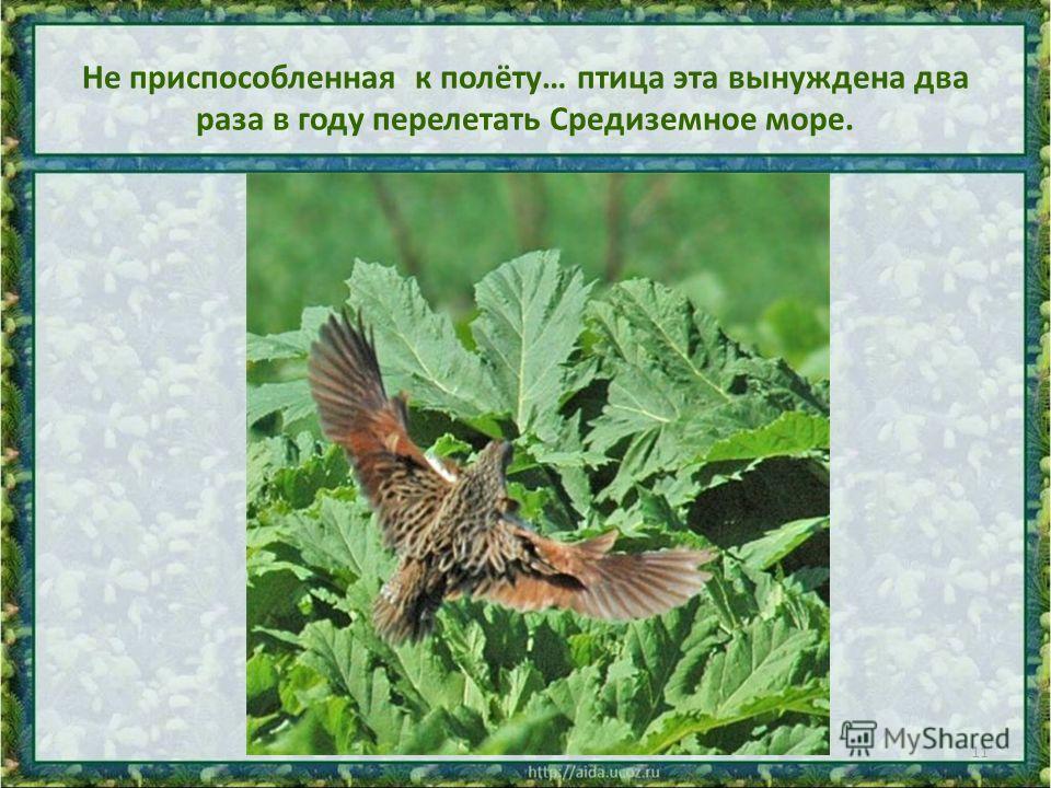 Не приспособленная к полёту… птица эта вынуждена два раза в году перелетать Средиземное море. 11