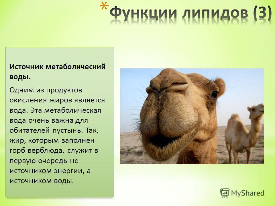Источник метаболический воды. Одним из продуктов окисления жиров является вода. Эта метаболическая вода очень важна для обитателей пустынь. Так, жир, которым заполнен горб верблюда, служит в первую очередь не источником энергии, а источником воды.