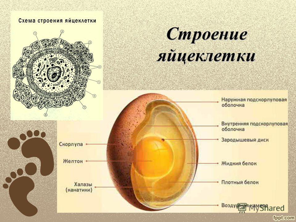 Яйцеклетка и сперматозойд особенности стороения