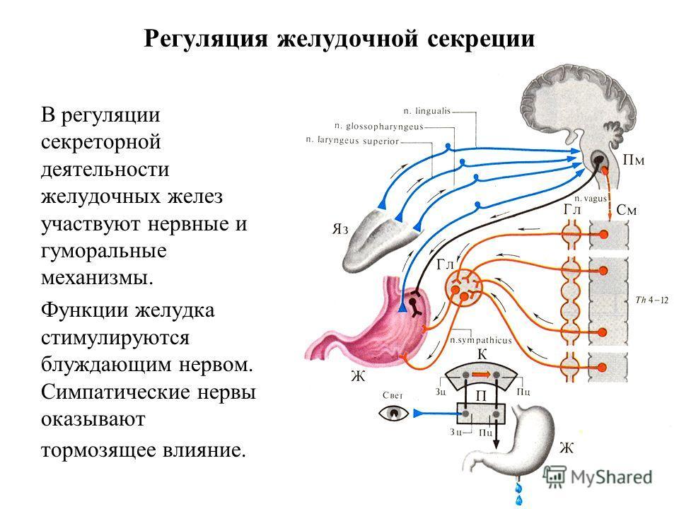 Регуляция желудочной секреции В регуляции секреторной деятельности желудочных желез участвуют нервные и гуморальные механизмы. Функции желудка стимулируются блуждающим нервом. Симпатические нервы оказывают тормозящее влияние.