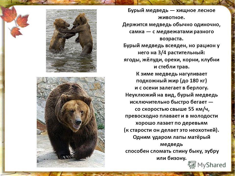 Бурый медведь хищное лесное животное. Держится медведь обычно одиночно, самка с медвежатами разного возраста. Бурый медведь всеяден, но рацион у него на 3/4 растительный: ягоды, жёлуди, орехи, корни, клубни и стебли трав. К зиме медведь нагуливает по