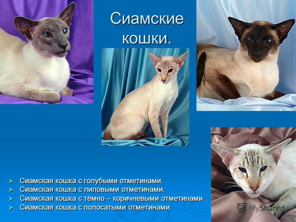 Сиамские кошки. Сиамская кошка с голубыми отметинами. Сиамская кошка с голубыми отметинами. Сиамская кошка с лиловыми отметинами. Сиамская кошка с лиловыми отметинами. Сиамская кошка с тёмно – коричневыми отметинами. Сиамская кошка с тёмно – коричнев