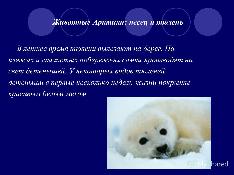 Животные Арктики: песец и тюлень В летнее время тюлени вылезают на берег. На пляжах и скалистых побережьях самки производят на свет детенышей. У некоторых видов тюленей детеныши в первые несколько недель жизни покрыты красивым белым мехом.