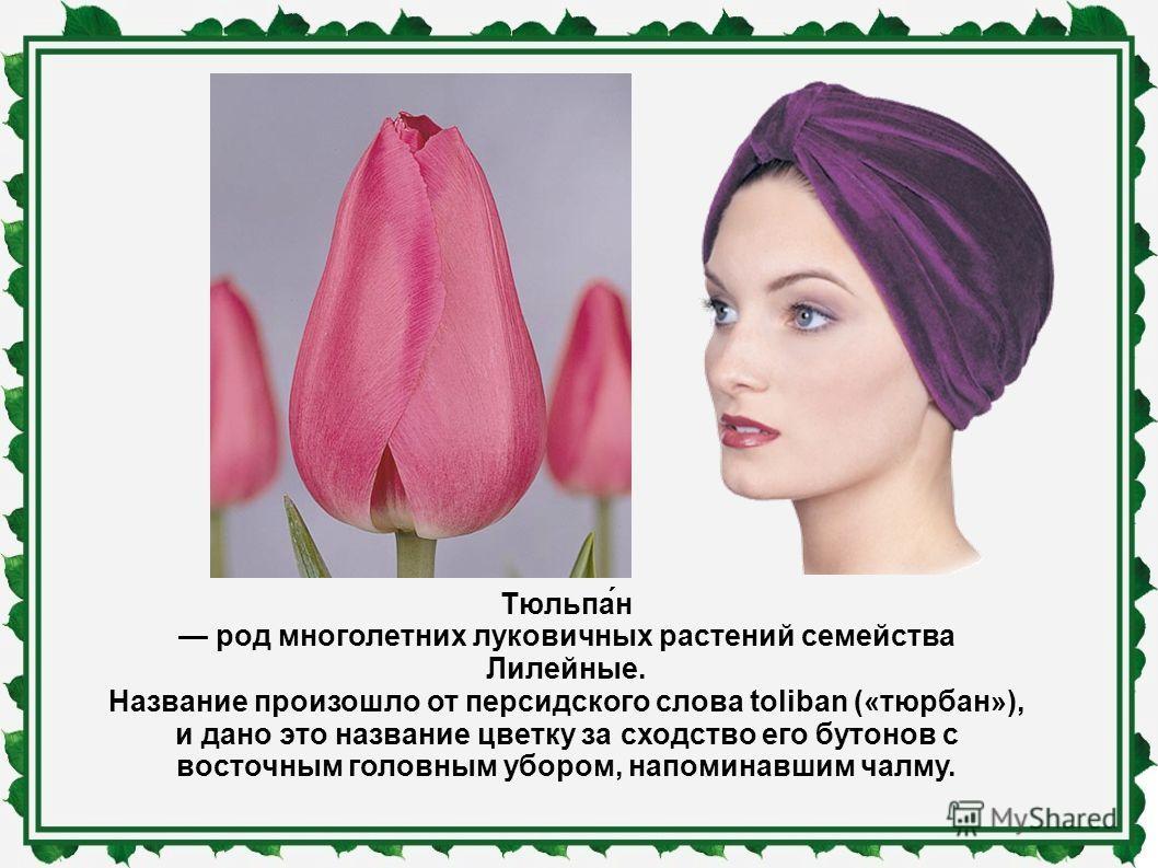 Тюльпа́н род многолетних луковичных растений семейства Лилейные. Название произошло от персидского слова toliban («тюрбан»), и дано это название цветку за сходство его бутонов с восточным головным убором, напоминавшим чалму.