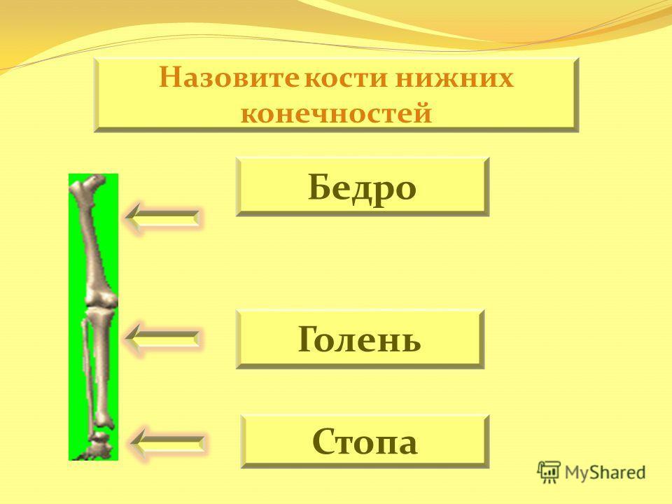 Назовите кости нижних конечностей Бедро Голень Стопа