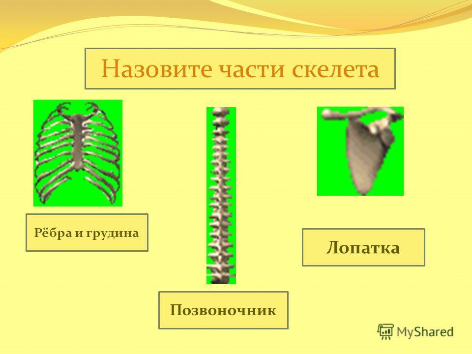 Назовите части скелета Рёбра и грудина Позвоночник Лопатка