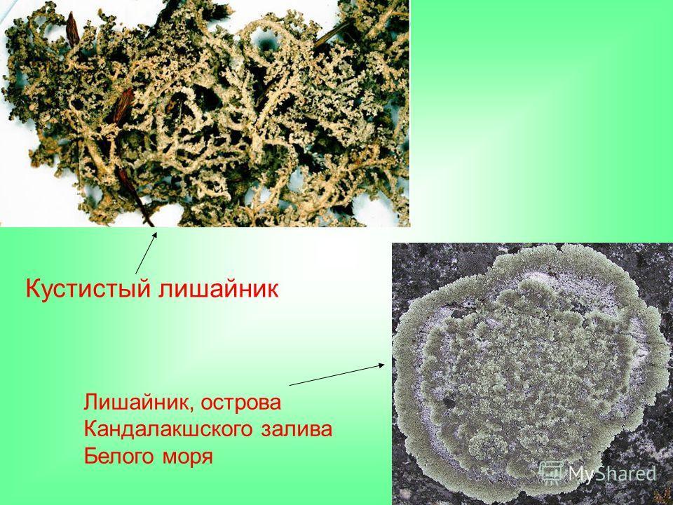 Кустистый лишайник Лишайник, острова Кандалакшского залива Белого моря