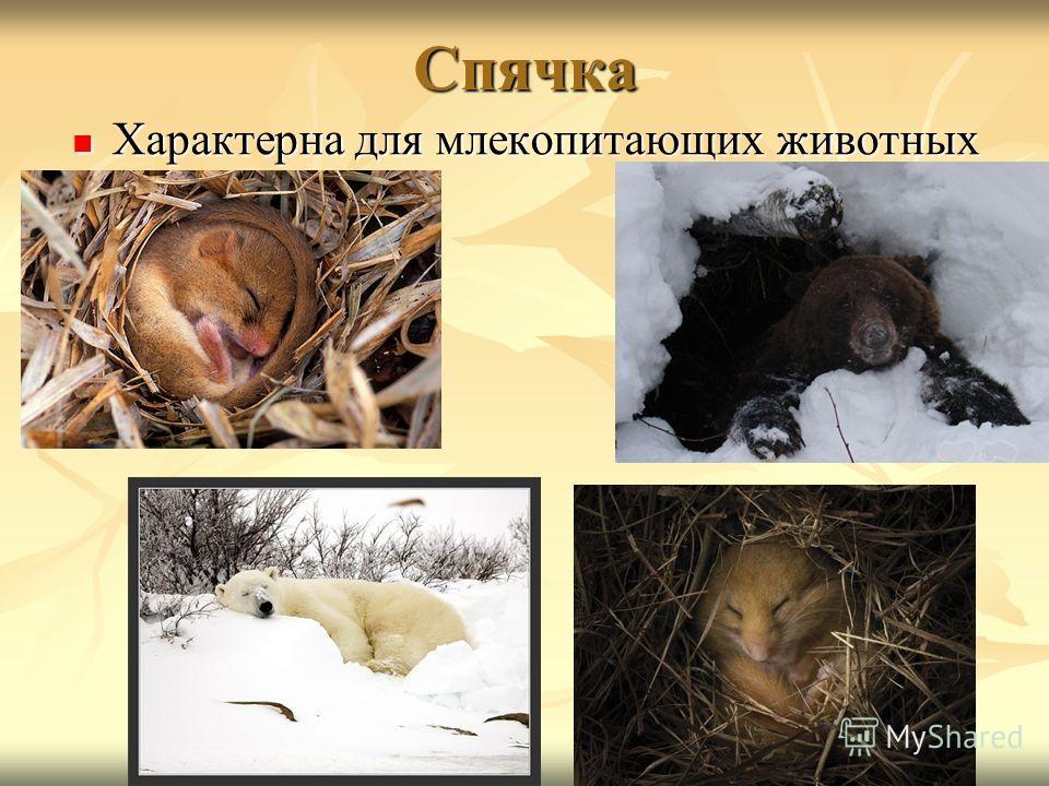 Спячка Характерна для млекопитающих животных Характерна для млекопитающих животных