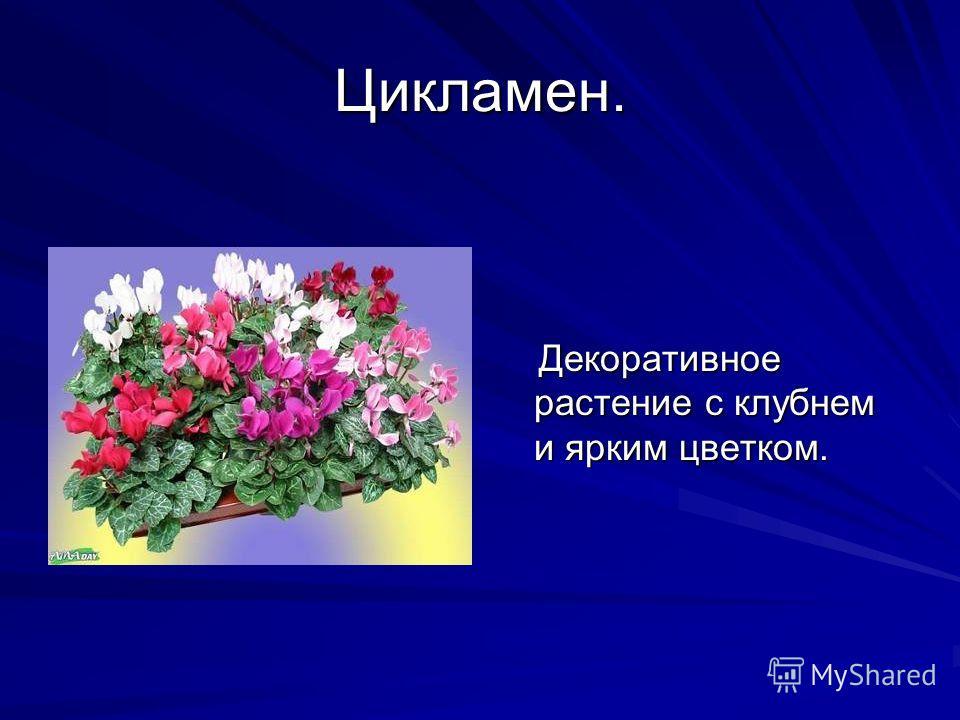 Цикламен. Декоративное растение с клубнем и ярким цветком. Декоративное растение с клубнем и ярким цветком.