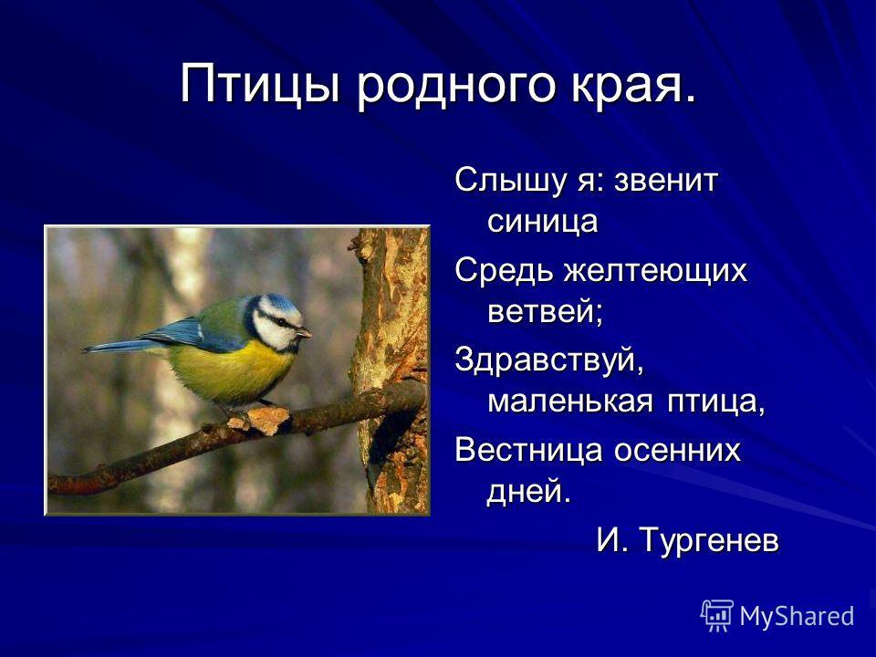 Птицы родного края. Слышу я: звенит синица Средь желтеющих ветвей; Здравствуй, маленькая птица, Вестница осенних дней. И. Тургенев И. Тургенев