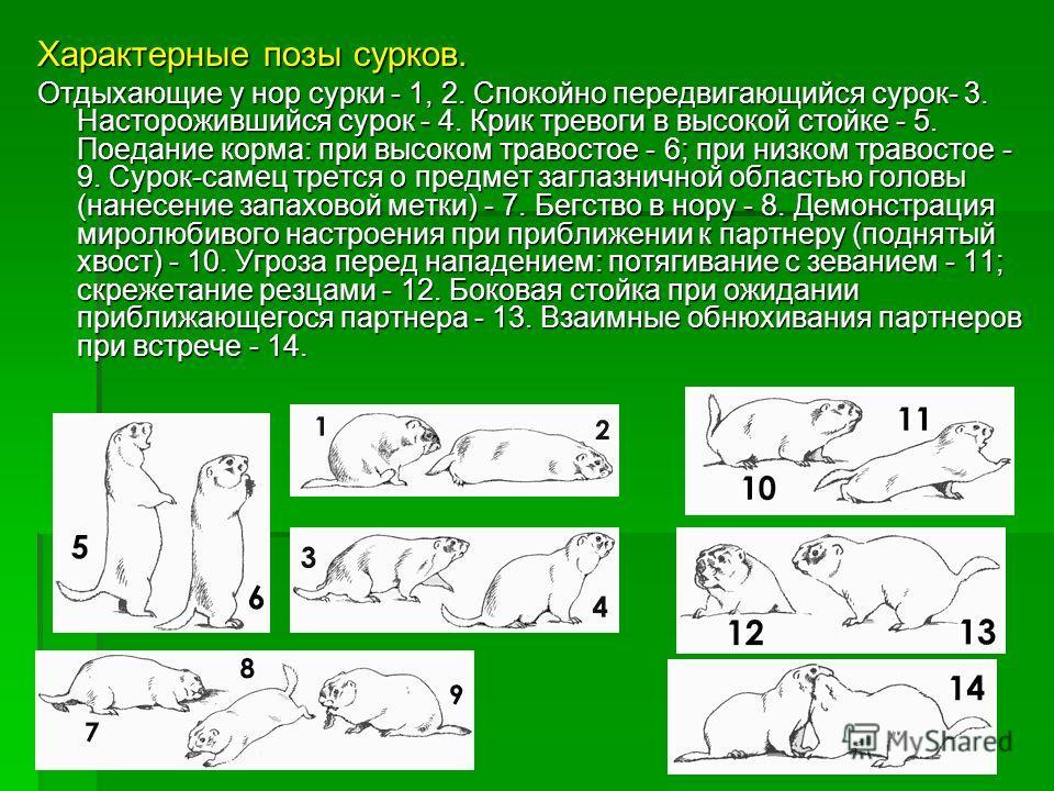 Характерные позы сурков. Отдыхающие у нор сурки - 1, 2. Спокойно передвигающийся сурок- 3. Насторожившийся сурок - 4. Крик тревоги в высокой стойке - 5. Поедание корма: при высоком травостое - 6; при низком травостое - 9. Сурок-самец трется о предмет