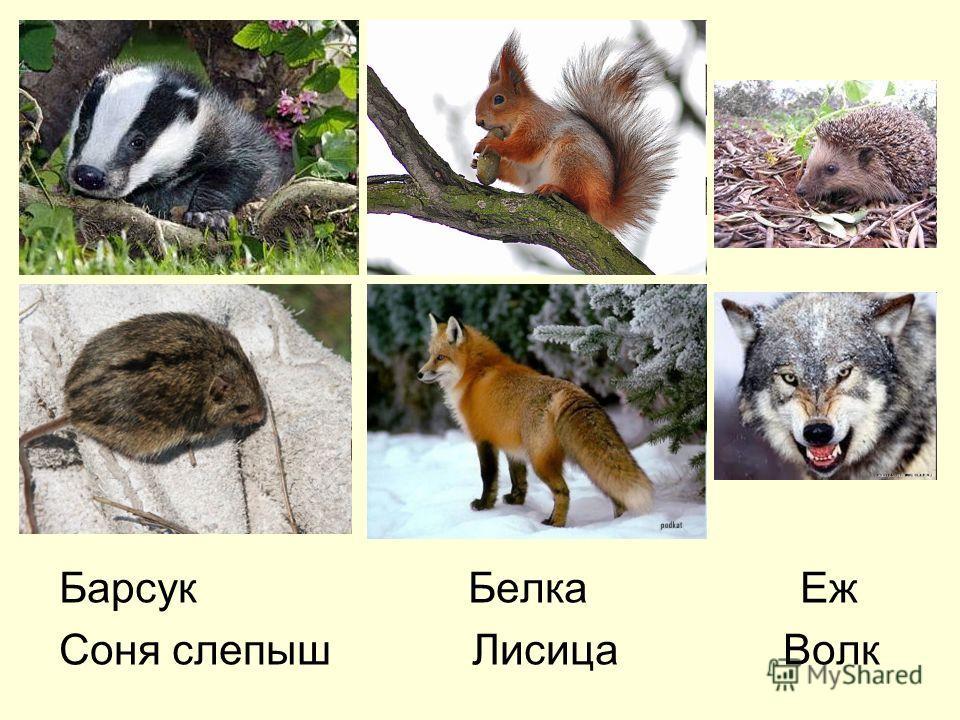 Барсук Белка Еж Соня слепыш Лисица Волк