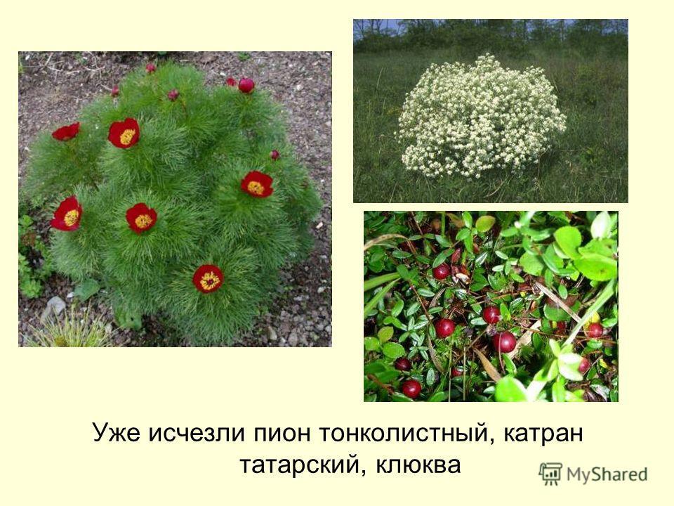 Уже исчезли пион тонколистный, катран татарский, клюква
