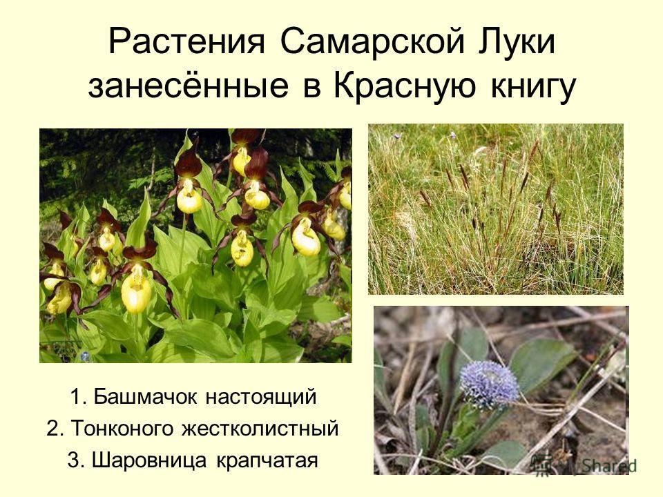 Растения Самарской Луки занесённые в Красную книгу 1. Башмачок настоящий 2. Тонконого жестколистный 3. Шаровница крапчатая