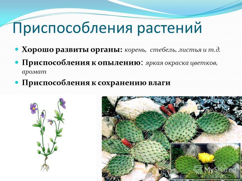 Приспособления растений Хорошо развиты органы: корень, стебель, листья и т.д. Приспособления к опылению : яркая окраска цветков, аромат Приспособления к сохранению влаги