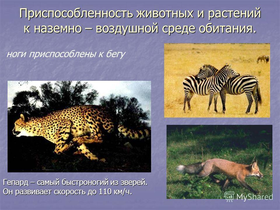 Гепард – самый быстроногий из зверей. Он развивает скорость до 110 км/ч. ноги приспособлены к бегу