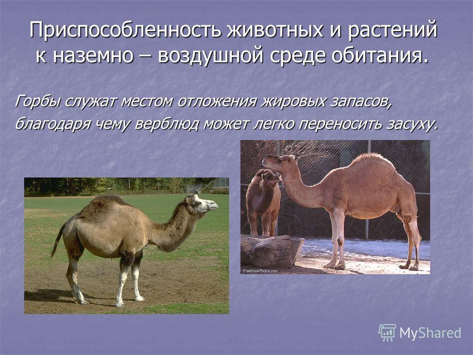 Приспособленность животных и растений к наземно – воздушной среде обитания. к наземно – воздушной среде обитания. Горбы служат местом отложения жировых запасов, благодаря чему верблюд может легко переносить засуху.