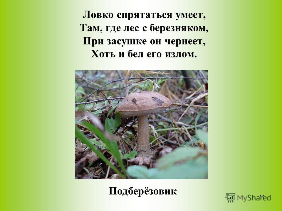 Ловко спрятаться умеет, Там, где лес с березняком, При засушке он чернеет, Хоть и бел его излом. Подберёзовик 11