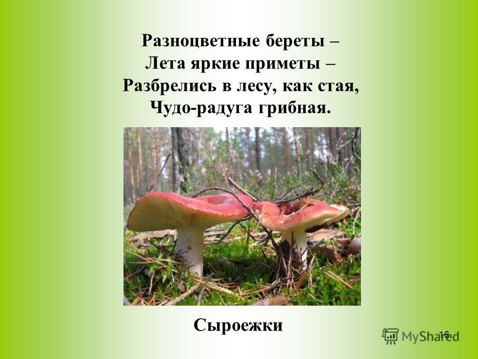 Разноцветные береты – Лета яркие приметы – Разбрелись в лесу, как стая, Чудо-радуга грибная. Сыроежки 16