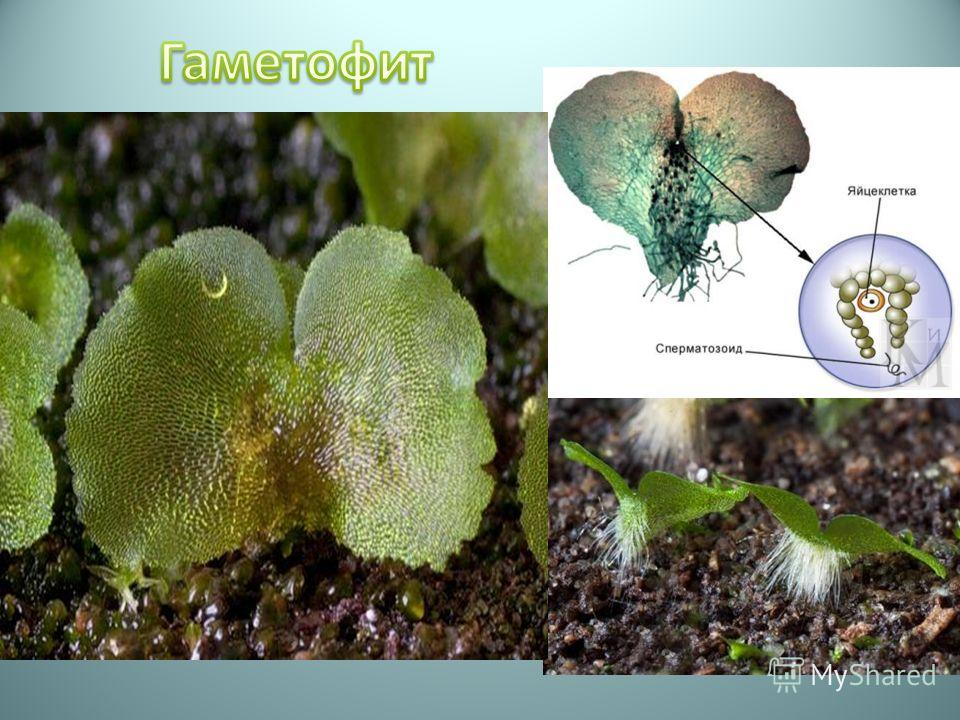 Гаметофит, называемый заростком - тонкая зеленая пластинка диаметром обычно ок. 6 мм. На нем развиваются мужские и женские половые органы - антеридии и архегонии. Когда они созревают, сперматозоиды из антеридиев плывут по покрывающей заросток пленке