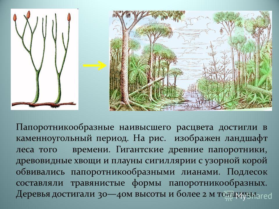 Папоротникообразные наивысшего расцвета достигли в каменноугольный период. На рис. изображен ландшафт леса того времени. Гигантские древние папоротники, древовидные хвощи и плауны сигиллярии с узорной корой обвивались папоротникообразными лианами. По