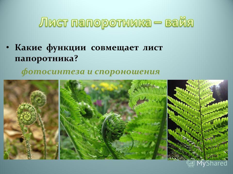 Какие функции совмещает лист папоротника? фотосинтеза и спороношения