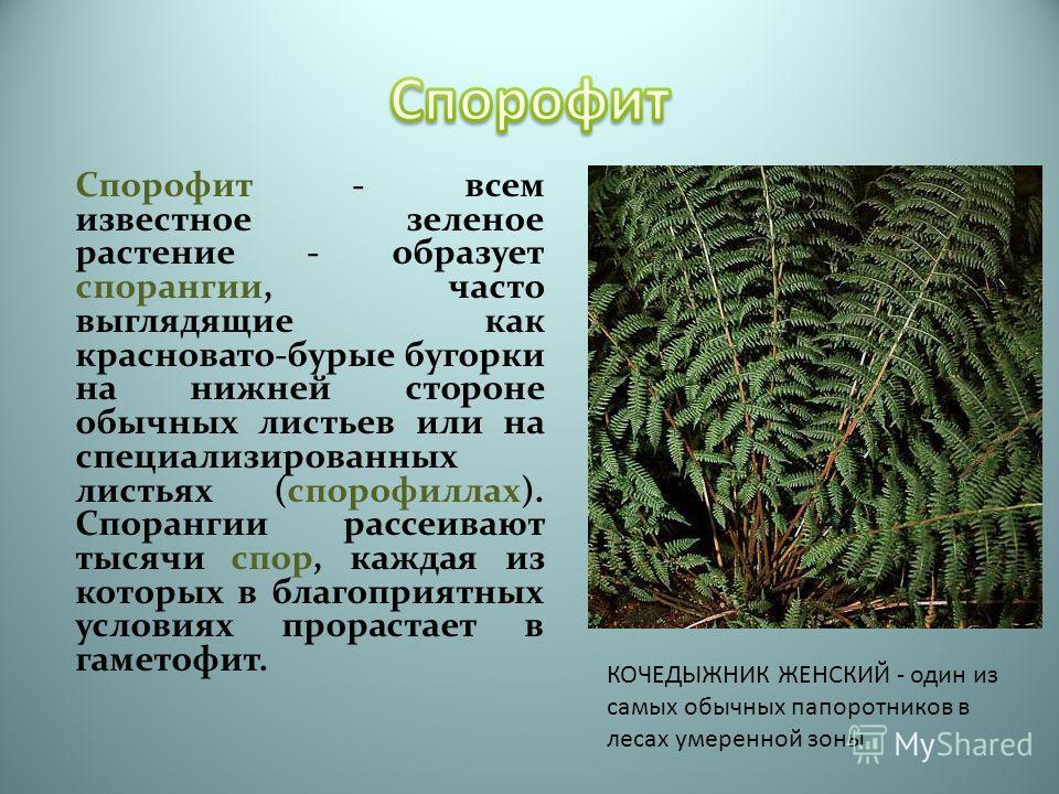 Спорофит - всем известное зеленое растение - образует спорангии, часто выглядящие как красновато-бурые бугорки на нижней стороне обычных листьев или на специализированных листьях (спорофиллах). Спорангии рассеивают тысячи спор, каждая из которых в бл