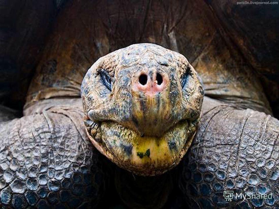 Самое старое животное Самой старой рептилией является галапагосская гигантская черепаха, которая может прожить больше 175 лет. Однако среди самых старых животных есть такие представители, как океанический венус моллюск, который дожил до 405 лет.