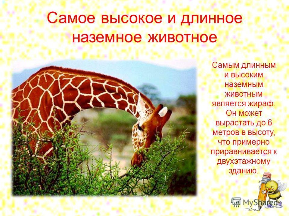Самое высокое и длинное наземное животное Самым длинным и высоким наземным животным является жираф. Он может вырастать до 6 метров в высоту, что примерно приравнивается к двухэтажному зданию.