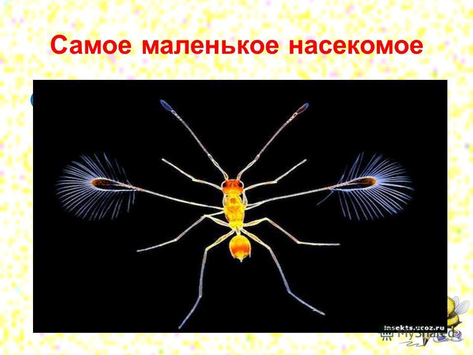 Самое маленькое насекомое Осы-крошки, мимариды это самые маленькие насекомые, чей размер составляет примерно 0,46 мм.